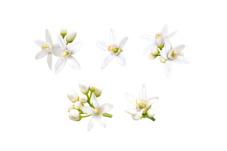 Photo pour Neroli blossom. Orange tree white fragrant flowers and buds set isolated on white. - image libre de droit
