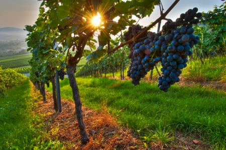 Photo for Grapes in a vineyard in Germany - Royalty Free Image