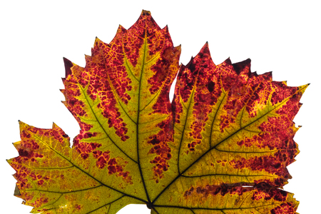 Photo for Discoloration wine leaf with nervures in green and red in autumn - Royalty Free Image