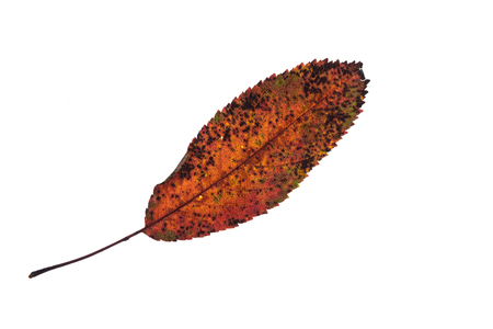 Photo for Elliptical toothed fruit tree leaf in orange brown autumn colouring - Royalty Free Image