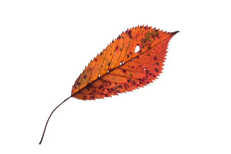 Photo for Orange leaf in autumn colouring white isolated - Royalty Free Image