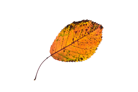 Photo for Orange fruit tree leaf in autumn wiht green and brown stains white isolated - Royalty Free Image