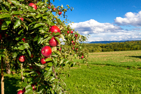 Photo for Natural apple tree on a meadow - Royalty Free Image