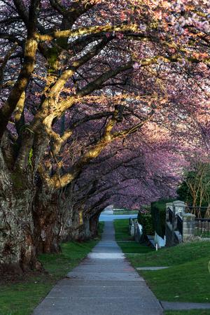 Foto de Cherry Blossom in Spring, vancouver BC Canada - Imagen libre de derechos