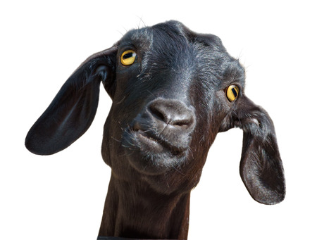 Photo pour Head of silly looking black goat isolated on white, with clipping path - image libre de droit