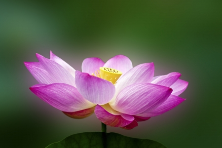 Photo for lotus blossoms or water lily flowers blooming on pond - Royalty Free Image