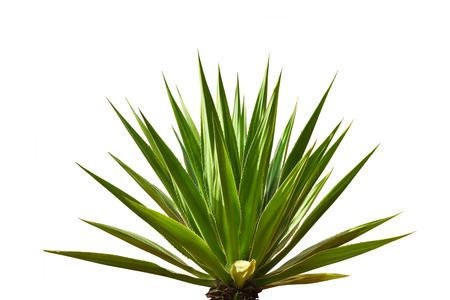 Photo pour agave plant leaves - image libre de droit