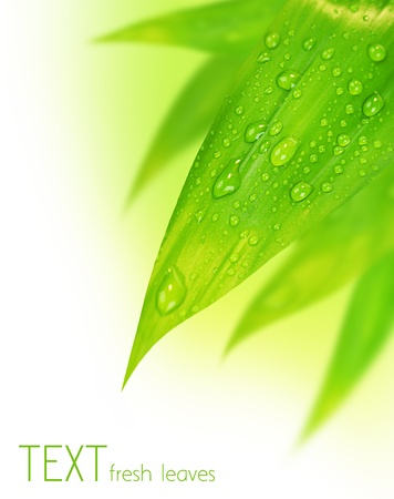 Fresh green spring leaves border, with water drops isolated on white background