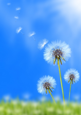 Photo for Dandelion flower field over blue sky - Royalty Free Image