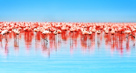 Photo pour  Flamingo birds in the lake Nakuru, African safari, Kenya - image libre de droit