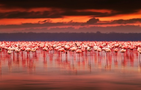 Foto de African flamingos in the lake over beautiful sunset, flock of exotic birds at natural habitat, Africa landscape, Kenya nature, Lake Nakuru national park reserve - Imagen libre de derechos