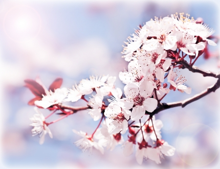 Photo for Blooming tree at spring, fresh pink flowers on the branch of fruit tree, plant blossom abstract background, seasonal nature beauty, dreamy soft focus picture  - Royalty Free Image