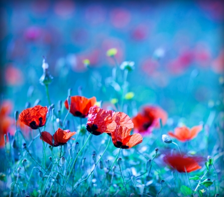 Photo pour Poppy flower field at night with a dreamy blue cast and selective soft focus, natural background of wild summer nature - image libre de droit