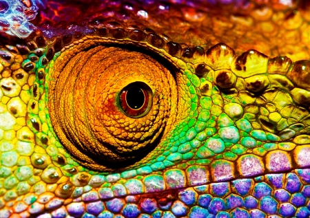 Photo pour Photo of colorful reptilian eye, closeup head part of chameleon, multicolor scaly skin of lizard, african animal, beautiful exotic iguana, wild nature, fauna of rainforest - image libre de droit