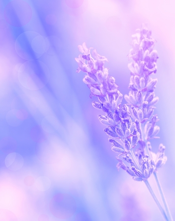 Closeup on beautiful gentle lavender flower on blurry purple background, soft focus, violet wildflower, summer time nature