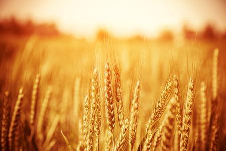 Photo pour Beautiful yellow wheat field, autumnal nature, countryside, crop cultivation, dry rye stems, harvest season, healthy nutrition concept - image libre de droit