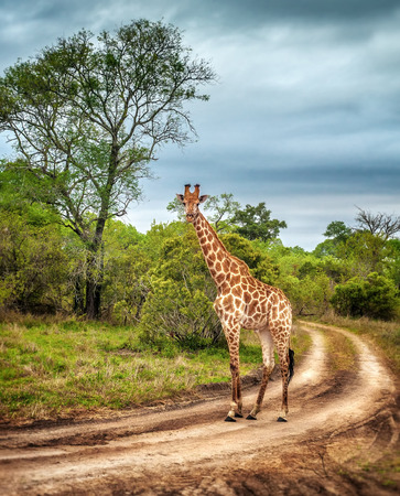 Photo pour South African wildlife, wild giraffe on a walk, beautiful great animal, big five, bush safari game drive, Kruger National Park Reserve, travel South Africa - image libre de droit