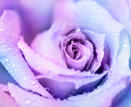 Photo for Ð¡old winter rose, purple abstract floral background, gentle flower with dew drops on the petals, romantic greeting card - Royalty Free Image