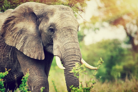 Photo for Portrait of a big beautiful elephant outdoors, wild animal - Royalty Free Image