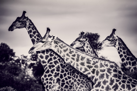 Photo pour Safari, portrait of a beautiful giraffes family, black and white photo of a gorgeous big animals, wildlife photography, exotic nature of South Africa - image libre de droit
