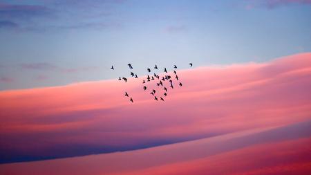 Foto de Birds migration, silhouette of a flock of birds over beautiful pink sunset sky background, wild birds flying to the warm countries - Imagen libre de derechos