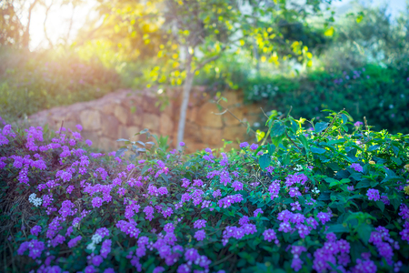 Photo for Beautiful blooming orchard, fresh green shrub with purple flowers on it, bright sunny day, wonderful spring weather, amazing beauty and freshness of springtime garden - Royalty Free Image