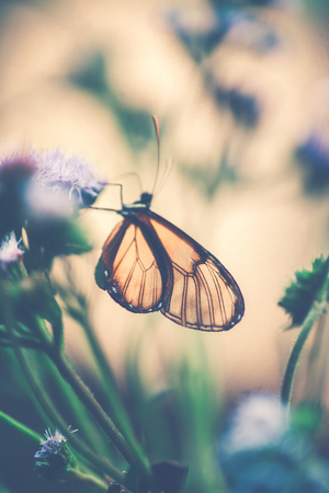 Photo pour Vintage style photo of a glasswinged butterfly on the purple flower, little beautiful insect with amazing wings, majestic nature of Costa Rica, Central America - image libre de droit