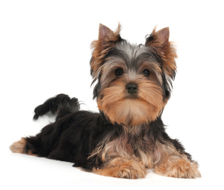 Cute Yorkshire Terrier puppy on the white background