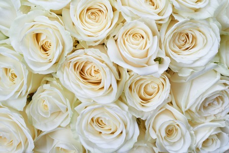 Photo pour Many white roses as a floral background - image libre de droit