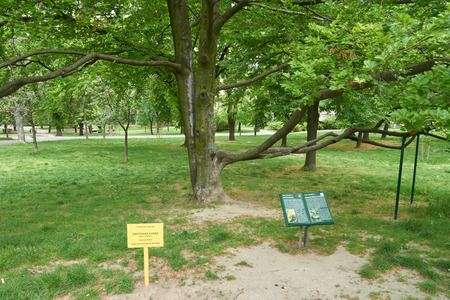Photo for Belgrade, Serbia - May 04, 2018: Public park in Belgrade. The text on signs tells that this tree is a European beech or Common beech. This is a natural monument under protection of state. - Royalty Free Image
