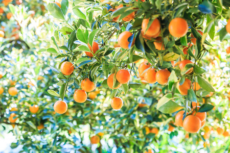 Photo for orange on the tree - Royalty Free Image