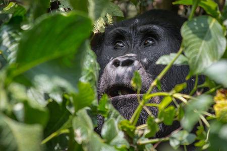 Photo pour An angelic gorilla looks heavenward in the impenatrable forrest of Uganda - image libre de droit