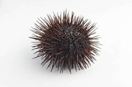 urchin close up