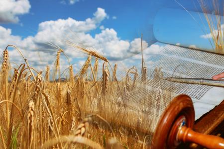 Photo pour Symbols of jewish holiday Shavuot Torah and wheat field meadow. - image libre de droit