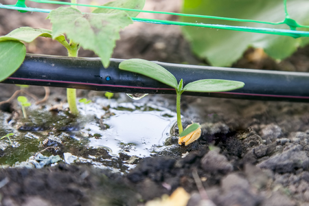 Photo pour Cultivation of cucumbers in the greenhouse, drip irrigation system close-up - image libre de droit