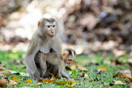 Mother and baby monkey (Pig-tailed Macaque) Living on the grass in the forest