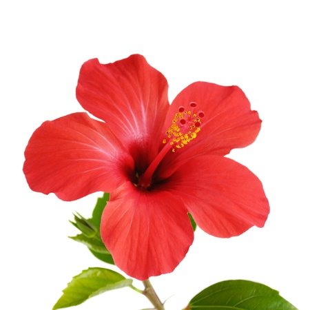 Red Hibiscus flower head over white background