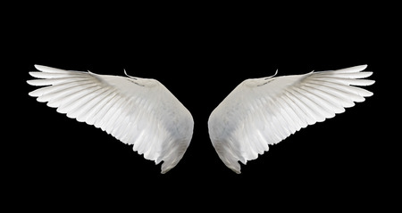 Photo for white wing swan isolate - Royalty Free Image