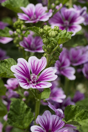 Photo for Purple Common mallow flowers - Royalty Free Image