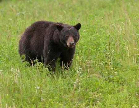Photo pour Young American Black Bear, Ursus americanus, foraging lush green grass meadow - image libre de droit