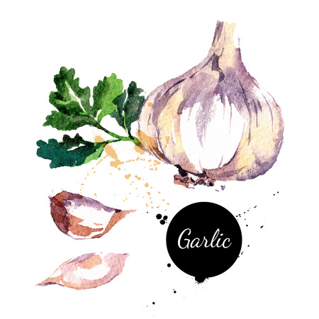 Ilustración de Garlic. Hand drawn watercolor painting on white background. Vector illustration - Imagen libre de derechos