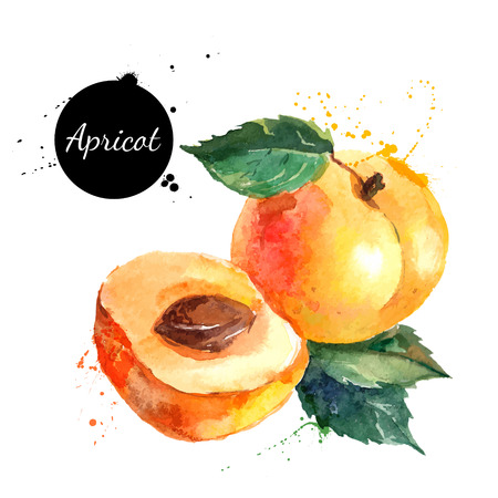Illustration pour Hand drawn watercolor painting on white background. Vector illustration of fruit  apricot - image libre de droit