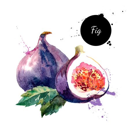 Illustration pour Hand drawn watercolor painting on white background. Vector illustration of fruit fig - image libre de droit