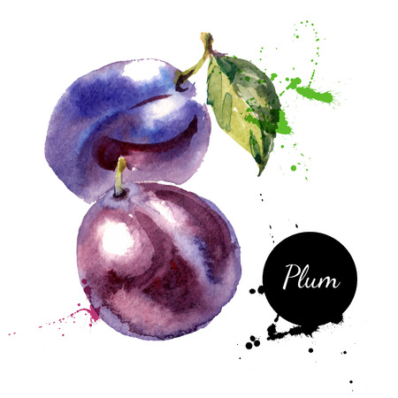 Illustration pour Hand drawn watercolor painting on white background. Vector illustration of fruit plum - image libre de droit
