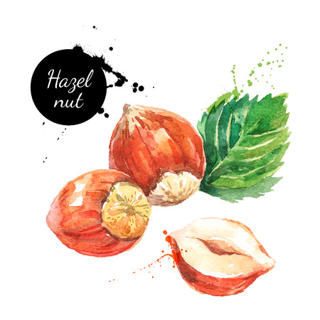Illustration for Hand drawn watercolor painting nut on white background. Vector trace illustration of hazelnut - Royalty Free Image