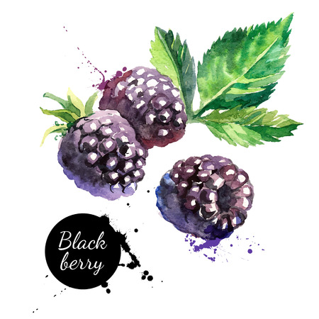 Ilustración de Hand drawn watercolor painting  blackberry on white background. Vector illustration of berries - Imagen libre de derechos