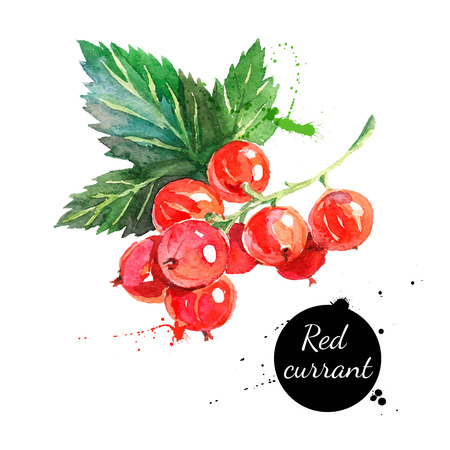 Illustration for Hand drawn watercolor painting red currants on white background. Vector illustration of berries - Royalty Free Image