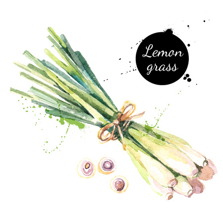Illustration pour Lemongrass. Hand drawn watercolor painting on white background. Vector illustration - image libre de droit