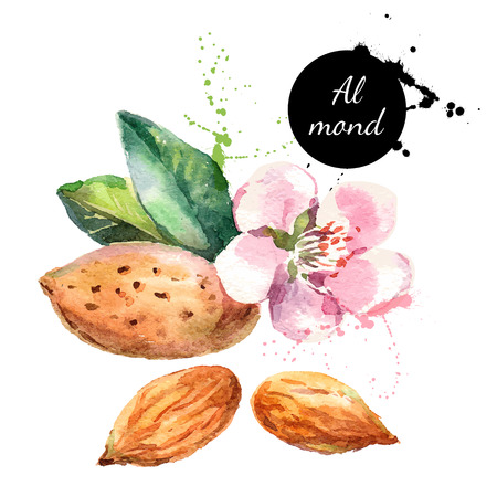 Illustration pour Hand drawn watercolor painting on white background. Vector trace illustration of nut almond - image libre de droit