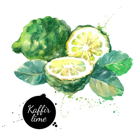 Ilustración de Kaffir lime. Hand drawn watercolor painting on white background. Vector illustration - Imagen libre de derechos